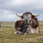 Wildman-Longhorn-with-chimney
